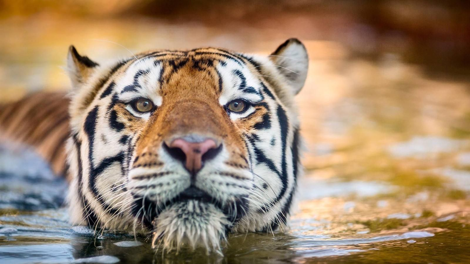Remembering Mike the Tiger