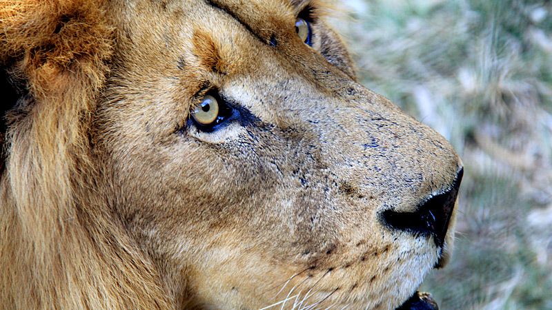 LION XCU